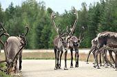 Reindeer - kings of the road in Lapland, Scandinavia