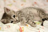 Grey Kitten Kitten Lays On A Bed