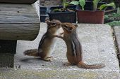 Dancing Chipmunks