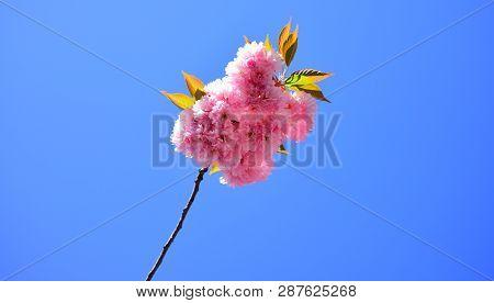Cherry Blossom Sacura Cherrytree For