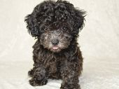 pic of chocolate poodle  - Little Poodle being a ham in frount of the camera sticking out his tongue - JPG