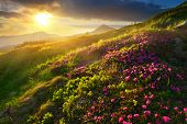 Rhododendron. Evening Highland With Blossoming Pink Rhododendron poster