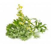 pic of sagebrush  - Wormwood with flowers isolated on a white background - JPG