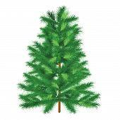 Evergreen Tree Fir Tree