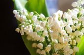 Fresh Small Flowers Lilies Of The Valley, Lily Of The Valley Flowers, Beautiful poster