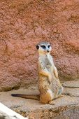 Meerkat Animal (latin Name Suricata Suricatta) In The Wild. Detail Of African Animal Walking On The poster