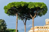 Italian Stone Pines (pinus Pinea) Also Known As Umbrella Pines And Parasol Pines, Tall Trees Along T poster