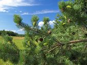 Green Branches Of A Pine With Young Cones.
