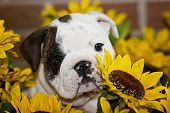 Sweet English Bulldog Puppy Sitting In Sunflowers