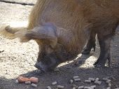 Iron Age Pig Eating Pignuts And Carrots