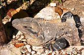 Head of  iguana.
