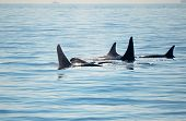 Pod Of Orca Killer Whales With A Calf, Blowing And Swimming In Blue Ocean, Victoria, Canada poster