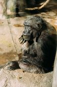 Funny Chimp Sitting On Stone In Zoological Park, Barcelona, Spain poster