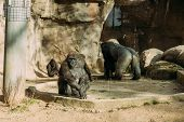 Chimpanzees And Gorilla In Zoological Park, Barcelona, Spain poster