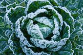 stock photo of brussels sprouts  - White frost crystals on Brussels Sprouts plant during winter - JPG