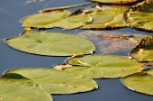 Lily Pads