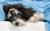 Cute Havanese Dog In Bed
