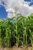 green maize in field