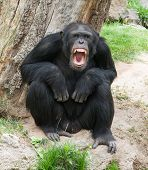 image of chimp  - Angry Chimpanzee - JPG