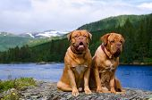 Dogue De Bordeaux couple against summer Norvegian landscape