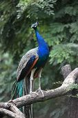 Beautiful Peacock bird  on a branch