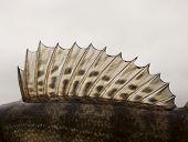 Dorsal fin of a walleye (pike-perch)