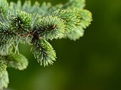 branch fir-tree