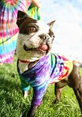 a funny boston terrier with a tie dye shirt on and tongue hanging out