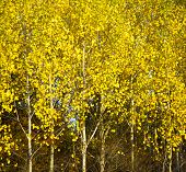 stock photo of birchwood  - Autumn birchwood at sunset - JPG