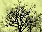 Bare Oak, Sepia