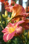 Hemerocallis flowers.