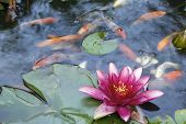 stock photo of koi fish  - Pink Water Lily Flower Blooming in Pond with Koi Swimming with Abstract Clouds Reflection in Water - JPG