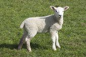 pic of suffolk sheep  - Lamb a week or two old taken in suffolk uk - JPG