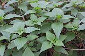 pic of infusion  - common nettle officinal plant with stinging leaves - medicinal herb used to prepare therapeutic infusions and healthy meals