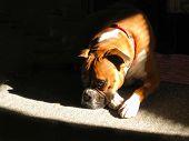 Boxer In Sunbeam