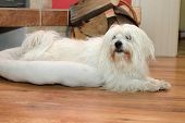uncommon breed of dog Coton de Tulear