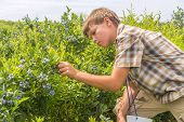Boy Picking Blueberries