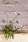 Wild Garlic Growing Out Of A Brick Wall