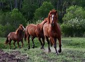 foto of running horse  - Horses chasing each other across a meadow - JPG