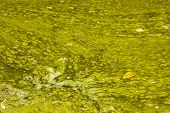 foto of green algae  - unsanitary surface of green stagnant algae infested water - JPG