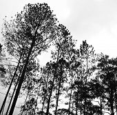 Abstract Black And White Image Of Tree Tops In The Forest.