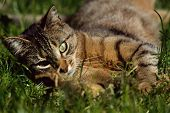 Cat Rolling In Grass