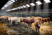 image of dairy barn  - Herd of young cows in sunny cowshed - JPG