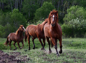 stock photo of running horse  - Horses chasing each other across a meadow - JPG