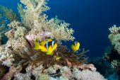 Mar vermelho Anemonefish (amphiprion Bicinctus)