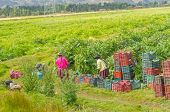 CUZCO, PERU, MAY 2, 2014 - Farm workers collect artichokes on field