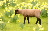 picture of spring lambs  - Suffolk lambs in a spring Oregon pasture - JPG