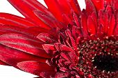 Close Up Gerbera Flower