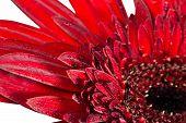Close Up Gerbera Flower