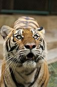 Tiger looking up.